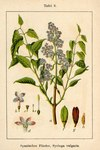 """Gewöhnlicher Flieder - Syringa vulgaris; Bildquelle: <a href=""""https://www.pflanzen-deutschland.de/quellen.php?bild_quelle=Deutschlands Flora in Abbildungen 1796"""">Deutschlands Flora in Abbildungen 1796</a>; Bildlizenz: <a href=""""https://creativecommons.org/licenses/publicdomain/deed.de"""" target=_blank title=""""Public Domain"""">Public Domain</a>;"""