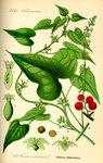 """Schmerwurz - Tamus communis; Bildquelle: <a href=""""https://www.pflanzen-deutschland.de/quellen.php?bild_quelle=Prof. Dr. Otto Wilhelm Thome Flora von Deutschland, Österreich und der Schweiz 1885, Gera, Germany"""">Prof. Dr. Otto Wilhelm Thome Flora von Deutschland, Österreich und der Schweiz 1885, Gera, Germany</a>; Bildlizenz: <a href=""""https://creativecommons.org/licenses/publicdomain/deed.de"""" target=_blank title=""""Public Domain"""">Public Domain</a>;"""