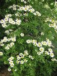 """Mutterkraut - Tanacetum parthenium; Bildquelle: © <a href=""""https://www.pflanzen-deutschland.de/quellen.php?bild_quelle=Bönisch 2012"""">Bönisch 2012</a> - <b>All rights reserved</b>"""