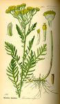 """Rainfarn - Tanacetum vulgare; Bildquelle: <a href=""""https://www.pflanzen-deutschland.de/quellen.php?bild_quelle=Prof. Dr. Otto Wilhelm Thome Flora von Deutschland, Österreich und der Schweiz 1885, Gera, Germany"""">Prof. Dr. Otto Wilhelm Thome Flora von Deutschland, Österreich und der Schweiz 1885, Gera, Germany</a>; Bildlizenz: <a href=""""https://creativecommons.org/licenses/publicdomain/deed.de"""" target=_blank title=""""Public Domain"""">Public Domain</a>;"""