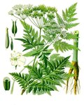 "Wiesen-Kerbel - Anthriscus sylvestris; Bildquelle: <a href=""https://www.pflanzen-deutschland.de/quellen.php?bild_quelle=Wikipedia User Editor at Large"">Wikipedia User Editor at Large</a>; Bildlizenz: <a href=""https://creativecommons.org/licenses/by-sa/3.0/deed.de"" target=_blank title=""Namensnennung - Weitergabe unter gleichen Bedingungen 3.0 Unported (CC BY-SA 3.0)"">CC BY-SA 3.0</a>;"