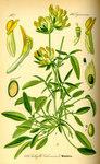 """Wundklee - Anthyllis vulneraria; Bildquelle: <a href=""""https://www.pflanzen-deutschland.de/quellen.php?bild_quelle=Prof. Dr. Otto Wilhelm Thome Flora von Deutschland, Österreich und der Schweiz 1885, Gera, Germany"""">Prof. Dr. Otto Wilhelm Thome Flora von Deutschland, Österreich und der Schweiz 1885, Gera, Germany</a>; Bildlizenz: <a href=""""https://creativecommons.org/licenses/publicdomain/deed.de"""" target=_blank title=""""Public Domain"""">Public Domain</a>;"""
