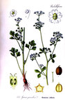 """Echter Sellerie - Apium graveolens; Bildquelle: <a href=""""https://www.pflanzen-deutschland.de/quellen.php?bild_quelle=Otto Wilhelm Thome Flora von Deutschland, Österreich und der Schweiz 1905, Gera, Germany"""">Otto Wilhelm Thome Flora von Deutschland, Österreich und der Schweiz 1905, Gera, Germany</a>; Bildlizenz: <a href=""""https://creativecommons.org/licenses/by-sa/3.0/deed.de"""" target=_blank title=""""Namensnennung - Weitergabe unter gleichen Bedingungen 3.0 Unported (CC BY-SA 3.0)"""">CC BY-SA 3.0</a>;"""