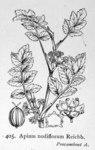 """Knotenblütiger Sellerie - Apium nodiflorum; Bildquelle: <a href=""""https://www.pflanzen-deutschland.de/quellen.php?bild_quelle=Illustrations of the British Flora 1924 - Walter Hood Fitch"""">Illustrations of the British Flora 1924 - Walter Hood Fitch</a>; Bildlizenz: <a href=""""https://creativecommons.org/licenses/publicdomain/deed.de"""" target=_blank title=""""Public Domain"""">Public Domain</a>;"""
