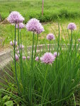 "Schnittlauch - Allium schoenoprasum; Bildquelle: &copy; <a href=""https://www.pflanzen-deutschland.de/quellen.php?bild_quelle=Bönisch 2012"">Bönisch 2012</a> - <b>All rights reserved</b>"