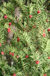 "Eibe - Taxus baccata; Bildquelle: © <a href=""https://www.pflanzen-deutschland.de/quellen.php?bild_quelle=Bönisch 2009"">Bönisch 2009</a> - <b>All rights reserved</b>"
