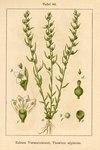 "Alpen-Leinblatt - Thesium alpinum; Bildquelle: <a href=""https://www.pflanzen-deutschland.de/quellen.php?bild_quelle=Deutschlands Flora in Abbildungen 1796"">Deutschlands Flora in Abbildungen 1796</a>; Bildlizenz: <a href=""https://creativecommons.org/licenses/publicdomain/deed.de"" target=_blank title=""Public Domain"">Public Domain</a>;"