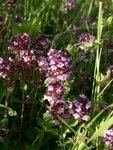 """Arznei-Thymian - Thymus pulegioides; Bildquelle: © <a href=""""https://www.pflanzen-deutschland.de/quellen.php?bild_quelle=Bönisch 2009"""">Bönisch 2009</a> - <b>All rights reserved</b>"""