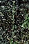"""Behaarte Gänsekresse - Arabis hirsuta; Bildquelle: <a href=""""https://www.pflanzen-deutschland.de/quellen.php?bild_quelle=Wikipedia User Fornax"""">Wikipedia User Fornax</a>; Bildlizenz: <a href=""""https://creativecommons.org/licenses/by-sa/3.0/deed.de"""" target=_blank title=""""Namensnennung - Weitergabe unter gleichen Bedingungen 3.0 Unported (CC BY-SA 3.0)"""">CC BY-SA 3.0</a>;"""