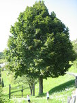 "Sommerlinde - Tilia platyphyllos; Bildquelle: <a href=""https://www.pflanzen-deutschland.de/quellen.php?bild_quelle=Wikipedia User Robertito1965"">Wikipedia User Robertito1965</a>; Bildlizenz: <a href=""https://creativecommons.org/licenses/by-sa/3.0/deed.de"" target=_blank title=""Namensnennung - Weitergabe unter gleichen Bedingungen 3.0 Unported (CC BY-SA 3.0)"">CC BY-SA 3.0</a>;"