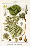 "Sommerlinde - Tilia platyphyllos; Bildquelle: <a href=""https://www.pflanzen-deutschland.de/quellen.php?bild_quelle=Deutschlands Flora in Abbildungen 1796"">Deutschlands Flora in Abbildungen 1796</a>; Bildlizenz: <a href=""https://creativecommons.org/licenses/publicdomain/deed.de"" target=_blank title=""Public Domain"">Public Domain</a>;"