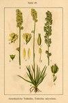 """Gewöhnliche Simsenlilie - Tofieldia calyculata; Bildquelle: <a href=""""https://www.pflanzen-deutschland.de/quellen.php?bild_quelle=Deutschlands Flora in Abbildungen, Johann Georg Sturm 1796"""">Deutschlands Flora in Abbildungen, Johann Georg Sturm 1796</a>; Bildlizenz: <a href=""""https://creativecommons.org/licenses/publicdomain/deed.de"""" target=_blank title=""""Public Domain"""">Public Domain</a>;"""