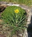 """Großer Bocksbart - Tragopogon dubius; Bildquelle: © <a href=""""https://www.pflanzen-deutschland.de/quellen.php?bild_quelle=Olive, Vielen Dank"""">Olive, Vielen Dank</a> - <b>All rights reserved</b>"""