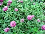 """Hügel-Klee - Trifolium alpestre; Bildquelle: <a href=""""https://www.pflanzen-deutschland.de/quellen.php?bild_quelle=Wikipedia User Dezidor"""">Wikipedia User Dezidor</a>; Bildlizenz: <a href=""""https://creativecommons.org/licenses/by-sa/3.0/deed.de"""" target=_blank title=""""Namensnennung - Weitergabe unter gleichen Bedingungen 3.0 Unported (CC BY-SA 3.0)"""">CC BY-SA 3.0</a>;"""