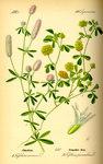 """Hasen-Klee - Trifolium arvense; Bildquelle: <a href=""""https://www.pflanzen-deutschland.de/quellen.php?bild_quelle=Prof. Dr. Otto Wilhelm Thome Flora von Deutschland, Österreich und der Schweiz 1885, Gera, Germany"""">Prof. Dr. Otto Wilhelm Thome Flora von Deutschland, Österreich und der Schweiz 1885, Gera, Germany</a>; Bildlizenz: <a href=""""https://creativecommons.org/licenses/publicdomain/deed.de"""" target=_blank title=""""Public Domain"""">Public Domain</a>;"""