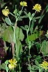 """Gold-Klee - Trifolium aureum; Bildquelle: <a href=""""https://www.pflanzen-deutschland.de/quellen.php?bild_quelle=Wikipedia User Fornax"""">Wikipedia User Fornax</a>; Bildlizenz: <a href=""""https://creativecommons.org/licenses/by-sa/3.0/deed.de"""" target=_blank title=""""Namensnennung - Weitergabe unter gleichen Bedingungen 3.0 Unported (CC BY-SA 3.0)"""">CC BY-SA 3.0</a>;"""