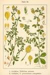 "Gold-Klee - Trifolium aureum; Bildquelle: <a href=""https://www.pflanzen-deutschland.de/quellen.php?bild_quelle=Deutschlands Flora in Abbildungen 1796"">Deutschlands Flora in Abbildungen 1796</a>; Bildlizenz: <a href=""https://creativecommons.org/licenses/publicdomain/deed.de"" target=_blank title=""Public Domain"">Public Domain</a>;"