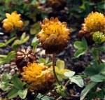 """Alpen-Braun-Klee - Trifolium badium; Bildquelle: <a href=""""https://www.pflanzen-deutschland.de/quellen.php?bild_quelle=Wikipedia User Ghislain118"""">Wikipedia User Ghislain118</a>; Bildlizenz: <a href=""""https://creativecommons.org/licenses/by-sa/3.0/deed.de"""" target=_blank title=""""Namensnennung - Weitergabe unter gleichen Bedingungen 3.0 Unported (CC BY-SA 3.0)"""">CC BY-SA 3.0</a>; <br>Wiki Commons Bildbeschreibung: <a href=""""https://commons.wikimedia.org/wiki/File:Trifolium_badium.jpg"""" target=_blank title=""""https://commons.wikimedia.org/wiki/File:Trifolium_badium.jpg"""">https://commons.wikimedia.org/wiki/File:Trifolium_badium.jpg</a>"""