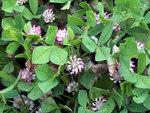 """Erdbeer-Klee - Trifolium fragiferum; Bildquelle: <a href=""""https://www.pflanzen-deutschland.de/quellen.php?bild_quelle=Wikipedia User Javier martin"""">Wikipedia User Javier martin</a>; Bildlizenz: <a href=""""https://creativecommons.org/licenses/by-sa/3.0/deed.de"""" target=_blank title=""""Namensnennung - Weitergabe unter gleichen Bedingungen 3.0 Unported (CC BY-SA 3.0)"""">CC BY-SA 3.0</a>;"""