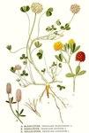 """Erdbeer-Klee - Trifolium fragiferum; Bildquelle: <a href=""""https://www.pflanzen-deutschland.de/quellen.php?bild_quelle=Carl Axel Magnus Lindman Bilder ur Nordens Flora 1901-1905"""">Carl Axel Magnus Lindman Bilder ur Nordens Flora 1901-1905</a>; Bildlizenz: <a href=""""https://creativecommons.org/licenses/publicdomain/deed.de"""" target=_blank title=""""Public Domain"""">Public Domain</a>;"""