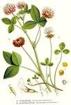 """Schweden-Klee - Trifolium hybridum; Bildquelle: <a href=""""https://www.pflanzen-deutschland.de/quellen.php?bild_quelle=Carl Axel Magnus Lindman Bilder ur Nordens Flora 1901-1905"""">Carl Axel Magnus Lindman Bilder ur Nordens Flora 1901-1905</a>; Bildlizenz: <a href=""""https://creativecommons.org/licenses/publicdomain/deed.de"""" target=_blank title=""""Public Domain"""">Public Domain</a>;"""