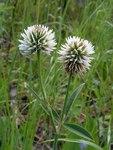 """Berg-Klee - Trifolium montanum; Bildquelle: <a href=""""https://www.pflanzen-deutschland.de/quellen.php?bild_quelle=Wikipedia User Bff"""">Wikipedia User Bff</a>; Bildlizenz: <a href=""""https://creativecommons.org/licenses/by-sa/3.0/deed.de"""" target=_blank title=""""Namensnennung - Weitergabe unter gleichen Bedingungen 3.0 Unported (CC BY-SA 3.0)"""">CC BY-SA 3.0</a>; <br>Wiki Commons Bildbeschreibung: <a href=""""https://commons.wikimedia.org/wiki/File:Trifolium_montanum20110612_148.jpg"""" target=_blank title=""""https://commons.wikimedia.org/wiki/File:Trifolium_montanum20110612_148.jpg"""">https://commons.wikimedia.org/wiki/File:Trifolium_montanum20110612_148.jpg</a>"""