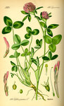 """Wiesen-Klee - Trifolium pratense; Bildquelle: <a href=""""http://www.pflanzen-deutschland.de/quellen.php?bild_quelle=Prof. Dr. Otto Wilhelm Thom� Flora von Deutschland, Österreich und der Schweiz 1885, Gera, Germany"""">Prof. Dr. Otto Wilhelm Thom� Flora von Deutschland, Österreich und der Schweiz 1885, Gera, Germany</a>; Bildlizenz: <a href=""""https://creativecommons.org/licenses/publicdomain/deed.de"""" target=_blank title=""""Public Domain"""">Public Domain</a>;"""