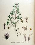 """Rauher Klee - Trifolium scabrum; Bildquelle: <a href=""""https://www.pflanzen-deutschland.de/quellen.php?bild_quelle=Wikipedia User FloraUploadR"""">Wikipedia User FloraUploadR</a>; Bildlizenz: <a href=""""https://creativecommons.org/licenses/by-sa/3.0/deed.de"""" target=_blank title=""""Namensnennung - Weitergabe unter gleichen Bedingungen 3.0 Unported (CC BY-SA 3.0)"""">CC BY-SA 3.0</a>;"""