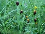 """Brauner Klee - Trifolium spadiceum; Bildquelle: <a href=""""https://www.pflanzen-deutschland.de/quellen.php?bild_quelle=Wikipedia User Annelis"""">Wikipedia User Annelis</a>; Bildlizenz: <a href=""""https://creativecommons.org/licenses/by-sa/3.0/deed.de"""" target=_blank title=""""Namensnennung - Weitergabe unter gleichen Bedingungen 3.0 Unported (CC BY-SA 3.0)"""">CC BY-SA 3.0</a>; <br>Wiki Commons Bildbeschreibung: <a href=""""http://commons.wikimedia.org/wiki/File:Trifolium_spadiceum_Musta-apila_HP1564_C.JPG"""" target=_blank title=""""http://commons.wikimedia.org/wiki/File:Trifolium_spadiceum_Musta-apila_HP1564_C.JPG"""">http://commons.wikimedia.org/wiki/File:Trifolium_spadiceum_Musta-apila_HP1564_C.JPG</a>"""