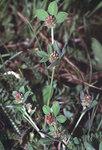 """Streifenklee - Trifolium striatum; Bildquelle: <a href=""""https://www.pflanzen-deutschland.de/quellen.php?bild_quelle=Wikipedia User Rasbak"""">Wikipedia User Rasbak</a>; Bildlizenz: <a href=""""https://creativecommons.org/licenses/by-sa/3.0/deed.de"""" target=_blank title=""""Namensnennung - Weitergabe unter gleichen Bedingungen 3.0 Unported (CC BY-SA 3.0)"""">CC BY-SA 3.0</a>;"""