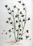 """Streifenklee - Trifolium striatum; Bildquelle: <a href=""""https://www.pflanzen-deutschland.de/quellen.php?bild_quelle=Wikipedia User FloraUploadR"""">Wikipedia User FloraUploadR</a>; Bildlizenz: <a href=""""https://creativecommons.org/licenses/by-sa/3.0/deed.de"""" target=_blank title=""""Namensnennung - Weitergabe unter gleichen Bedingungen 3.0 Unported (CC BY-SA 3.0)"""">CC BY-SA 3.0</a>;"""