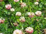 """Rasiger Klee - Trifolium thalii; Bildquelle: <a href=""""https://www.pflanzen-deutschland.de/quellen.php?bild_quelle=Wikipedia User PePeEfe"""">Wikipedia User PePeEfe</a>; Bildlizenz: <a href=""""https://creativecommons.org/licenses/by-sa/3.0/deed.de"""" target=_blank title=""""Namensnennung - Weitergabe unter gleichen Bedingungen 3.0 Unported (CC BY-SA 3.0)"""">CC BY-SA 3.0</a>;"""