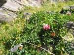 """Rasiger Klee - Trifolium thalii; Bildquelle: <a href=""""https://www.pflanzen-deutschland.de/quellen.php?bild_quelle=Wikipedia User Tigerente"""">Wikipedia User Tigerente</a>; Bildlizenz: <a href=""""https://creativecommons.org/licenses/by-sa/3.0/deed.de"""" target=_blank title=""""Namensnennung - Weitergabe unter gleichen Bedingungen 3.0 Unported (CC BY-SA 3.0)"""">CC BY-SA 3.0</a>; <br>Wiki Commons Bildbeschreibung: <a href=""""https://commons.wikimedia.org/wiki/File:Trifolium_thalii.jpg"""" target=_blank title=""""https://commons.wikimedia.org/wiki/File:Trifolium_thalii.jpg"""">https://commons.wikimedia.org/wiki/File:Trifolium_thalii.jpg</a>"""