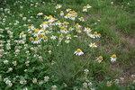 """Geruchlose Kamille - Tripleurospermum perforatum; Bildquelle: <a href=""""https://www.pflanzen-deutschland.de/quellen.php?bild_quelle=Wikipedia User Oceancetaceen"""">Wikipedia User Oceancetaceen</a>; Bildlizenz: <a href=""""https://creativecommons.org/licenses/by-sa/3.0/deed.de"""" target=_blank title=""""Namensnennung - Weitergabe unter gleichen Bedingungen 3.0 Unported (CC BY-SA 3.0)"""">CC BY-SA 3.0</a>; <br>Wiki Commons Bildbeschreibung: <a href=""""https://commons.wikimedia.org/wiki/File:Tripleurospermum_perforatum_-_Mainz_IMG_5776.JPG"""" target=_blank title=""""https://commons.wikimedia.org/wiki/File:Tripleurospermum_perforatum_-_Mainz_IMG_5776.JPG"""">https://commons.wikimedia.org/wiki/File:Tripleurospermum_perforatum_-_Mainz_IMG_5776.JPG</a>"""