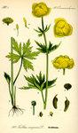 """Trollblume - Trollius europaeus; Bildquelle: <a href=""""https://www.pflanzen-deutschland.de/quellen.php?bild_quelle=Prof. Dr. Otto Wilhelm Thome Flora von Deutschland, Österreich und der Schweiz 1885, Gera, Germany"""">Prof. Dr. Otto Wilhelm Thome Flora von Deutschland, Österreich und der Schweiz 1885, Gera, Germany</a>; Bildlizenz: <a href=""""https://creativecommons.org/licenses/publicdomain/deed.de"""" target=_blank title=""""Public Domain"""">Public Domain</a>;"""