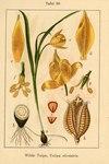 "Wilde Tulpe - Tulipa sylvestris; Bildquelle: <a href=""https://www.pflanzen-deutschland.de/quellen.php?bild_quelle=Deutschlands Flora in Abbildungen 1796"">Deutschlands Flora in Abbildungen 1796</a>; Bildlizenz: <a href=""https://creativecommons.org/licenses/publicdomain/deed.de"" target=_blank title=""Public Domain"">Public Domain</a>;"