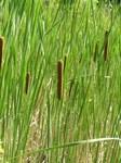 """Schmalblättriger Rohrkolben - Typha angustifolia; Bildquelle: <a href=""""https://www.pflanzen-deutschland.de/quellen.php?bild_quelle=Wikipedia User Don Pedro28"""">Wikipedia User Don Pedro28</a>; Bildlizenz: <a href=""""https://creativecommons.org/licenses/by-sa/3.0/deed.de"""" target=_blank title=""""Namensnennung - Weitergabe unter gleichen Bedingungen 3.0 Unported (CC BY-SA 3.0)"""">CC BY-SA 3.0</a>; <br>Wiki Commons Bildbeschreibung: <a href=""""https://commons.wikimedia.org/wiki/File:Typha_angustifolia1.JPG"""" target=_blank title=""""https://commons.wikimedia.org/wiki/File:Typha_angustifolia1.JPG"""">https://commons.wikimedia.org/wiki/File:Typha_angustifolia1.JPG</a>"""