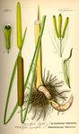 """Breitblättriger Rohrkolben - Typha latifolia; Bildquelle: <a href=""""https://www.pflanzen-deutschland.de/quellen.php?bild_quelle=Prof. Dr. Otto Wilhelm Thome Flora von Deutschland, Österreich und der Schweiz 1885, Gera, Germany"""">Prof. Dr. Otto Wilhelm Thome Flora von Deutschland, Österreich und der Schweiz 1885, Gera, Germany</a>; Bildlizenz: <a href=""""https://creativecommons.org/licenses/publicdomain/deed.de"""" target=_blank title=""""Public Domain"""">Public Domain</a>;"""
