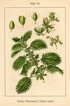 """Kleine Brennnessel - Urtica urens; Bildquelle: <a href=""""https://www.pflanzen-deutschland.de/quellen.php?bild_quelle=Deutschlands Flora in Abbildungen 1796"""">Deutschlands Flora in Abbildungen 1796</a>; Bildlizenz: <a href=""""https://creativecommons.org/licenses/publicdomain/deed.de"""" target=_blank title=""""Public Domain"""">Public Domain</a>;"""