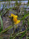 """Verkannter Wasserschlauch - Utricularia australis; Bildquelle: <a href=""""https://www.pflanzen-deutschland.de/quellen.php?bild_quelle=Wikipedia User Botanikus"""">Wikipedia User Botanikus</a>; Bildlizenz: <a href=""""https://creativecommons.org/licenses/by-sa/3.0/deed.de"""" target=_blank title=""""Namensnennung - Weitergabe unter gleichen Bedingungen 3.0 Unported (CC BY-SA 3.0)"""">CC BY-SA 3.0</a>;"""
