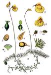 """Mittlerer Wasserschlauch - Utricularia intermedia; Bildquelle: <a href=""""https://www.pflanzen-deutschland.de/quellen.php?bild_quelle=Wikipedia User Nonenmac"""">Wikipedia User Nonenmac</a>; Bildlizenz: <a href=""""https://creativecommons.org/licenses/by-sa/3.0/deed.de"""" target=_blank title=""""Namensnennung - Weitergabe unter gleichen Bedingungen 3.0 Unported (CC BY-SA 3.0)"""">CC BY-SA 3.0</a>;"""