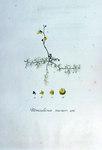 """Kleiner Wasserschlauch - Utricularia minor; Bildquelle: <a href=""""https://www.pflanzen-deutschland.de/quellen.php?bild_quelle=Wikipedia User FloraUploadR"""">Wikipedia User FloraUploadR</a>; Bildlizenz: <a href=""""https://creativecommons.org/licenses/by-sa/3.0/deed.de"""" target=_blank title=""""Namensnennung - Weitergabe unter gleichen Bedingungen 3.0 Unported (CC BY-SA 3.0)"""">CC BY-SA 3.0</a>;"""