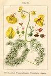 """Gewöhnlicher Wasserschlauch - Utricularia vulgaris; Bildquelle: <a href=""""https://www.pflanzen-deutschland.de/quellen.php?bild_quelle=Deutschlands Flora in Abbildungen 1796"""">Deutschlands Flora in Abbildungen 1796</a>; Bildlizenz: <a href=""""https://creativecommons.org/licenses/publicdomain/deed.de"""" target=_blank title=""""Public Domain"""">Public Domain</a>;"""