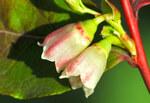 """Heidelbeere - Vaccinium myrtillus; Bildquelle: <a href=""""https://www.pflanzen-deutschland.de/quellen.php?bild_quelle=Wikipedia User Zcebeci"""">Wikipedia User Zcebeci</a>; Bildlizenz: <a href=""""https://creativecommons.org/licenses/by/4.0/deed.de"""" target=_blank title=""""Namensnennung 4.0 International (CC BY 4.0)"""">CC BY 4.0</a>; <br>Wiki Commons Bildbeschreibung: <a href=""""https://commons.wikimedia.org/wiki/File:Vaccinium_myrtillus_-_Bilberry_-_Maviyemi%C5%9F_08.jpg"""" target=_blank title=""""https://commons.wikimedia.org/wiki/File:Vaccinium_myrtillus_-_Bilberry_-_Maviyemi%C5%9F_08.jpg"""">https://commons.wikimedia.org/wiki/File:Vaccinium_myrtillus_-_Bilberry_-_Maviyemi%C5%9F_08.jpg</a>"""