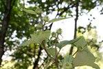"""Hain-Klette - Arctium nemorosum; Bildquelle: <a href=""""https://www.pflanzen-deutschland.de/quellen.php?bild_quelle=Wikipedia User Enrico Blasutto"""">Wikipedia User Enrico Blasutto</a>; Bildlizenz: <a href=""""https://creativecommons.org/licenses/by-sa/3.0/deed.de"""" target=_blank title=""""Namensnennung - Weitergabe unter gleichen Bedingungen 3.0 Unported (CC BY-SA 3.0)"""">CC BY-SA 3.0</a>;"""