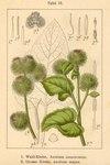 "Hain-Klette - Arctium nemorosum; Bildquelle: <a href=""https://www.pflanzen-deutschland.de/quellen.php?bild_quelle=Deutschlands Flora in Abbildungen 1796"">Deutschlands Flora in Abbildungen 1796</a>; Bildlizenz: <a href=""https://creativecommons.org/licenses/publicdomain/deed.de"" target=_blank title=""Public Domain"">Public Domain</a>;"
