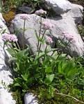 """Berg-Baldrian - Valeriana montana; Bildquelle: <a href=""""https://www.pflanzen-deutschland.de/quellen.php?bild_quelle=Wikipedia User Mbc"""">Wikipedia User Mbc</a>; Bildlizenz: <a href=""""https://creativecommons.org/licenses/by-sa/3.0/deed.de"""" target=_blank title=""""Namensnennung - Weitergabe unter gleichen Bedingungen 3.0 Unported (CC BY-SA 3.0)"""">CC BY-SA 3.0</a>; <br>Wiki Commons Bildbeschreibung: <a href=""""https://commons.wikimedia.org/wiki/File:Valeriana_montana_2006.06.27_09.50.49-p6270075.jpg"""" target=_blank title=""""https://commons.wikimedia.org/wiki/File:Valeriana_montana_2006.06.27_09.50.49-p6270075.jpg"""">https://commons.wikimedia.org/wiki/File:Valeriana_montana_2006.06.27_09.50.49-p6270075.jpg</a>"""