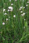 """Schmalblätteriger Arznei-Baldrian - Valeriana wallrothii; Bildquelle: <a href=""""https://www.pflanzen-deutschland.de/quellen.php?bild_quelle=Wikipedia User Sporti"""">Wikipedia User Sporti</a>; Bildlizenz: <a href=""""https://creativecommons.org/licenses/by-sa/3.0/deed.de"""" target=_blank title=""""Namensnennung - Weitergabe unter gleichen Bedingungen 3.0 Unported (CC BY-SA 3.0)"""">CC BY-SA 3.0</a>; <br>Wiki Commons Bildbeschreibung: <a href=""""https://commons.wikimedia.org/wiki/File:Valeriana_pratensis_PID1526-2.jpg"""" target=_blank title=""""https://commons.wikimedia.org/wiki/File:Valeriana_pratensis_PID1526-2.jpg"""">https://commons.wikimedia.org/wiki/File:Valeriana_pratensis_PID1526-2.jpg</a>"""