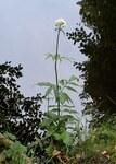 """Holunderblättriger Arznei-Baldrian - Valeriana sambucifolia; Bildquelle: <a href=""""https://www.pflanzen-deutschland.de/quellen.php?bild_quelle=Wikipedia User Kenraiz"""">Wikipedia User Kenraiz</a>; Bildlizenz: <a href=""""https://creativecommons.org/licenses/by/4.0/deed.de"""" target=_blank title=""""Namensnennung 4.0 International (CC BY 4.0)"""">CC BY 4.0</a>; <br>Wiki Commons Bildbeschreibung: <a href=""""https://commons.wikimedia.org/wiki/File:Valeriana_sambucifolia_kz02.jpg"""" target=_blank title=""""https://commons.wikimedia.org/wiki/File:Valeriana_sambucifolia_kz02.jpg"""">https://commons.wikimedia.org/wiki/File:Valeriana_sambucifolia_kz02.jpg</a>"""