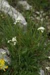 """Felsen-Baldrian - Valeriana saxatilis; Bildquelle: <a href=""""https://www.pflanzen-deutschland.de/quellen.php?bild_quelle=Wikipedia User Sporti"""">Wikipedia User Sporti</a>; Bildlizenz: <a href=""""https://creativecommons.org/licenses/by-sa/3.0/deed.de"""" target=_blank title=""""Namensnennung - Weitergabe unter gleichen Bedingungen 3.0 Unported (CC BY-SA 3.0)"""">CC BY-SA 3.0</a>; <br>Wiki Commons Bildbeschreibung: <a href=""""https://commons.wikimedia.org/wiki/File:Valeriana_saxatilis_PID1105-2.jpg"""" target=_blank title=""""https://commons.wikimedia.org/wiki/File:Valeriana_saxatilis_PID1105-2.jpg"""">https://commons.wikimedia.org/wiki/File:Valeriana_saxatilis_PID1105-2.jpg</a>"""